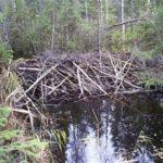 Fra beverhytta inne i skogen.